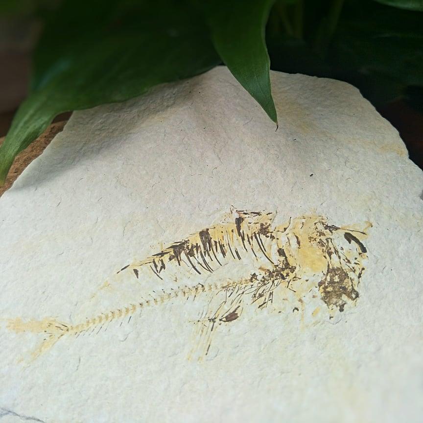 Gosiutichthys Parvus (Fossil Fish) 2nd Specimen